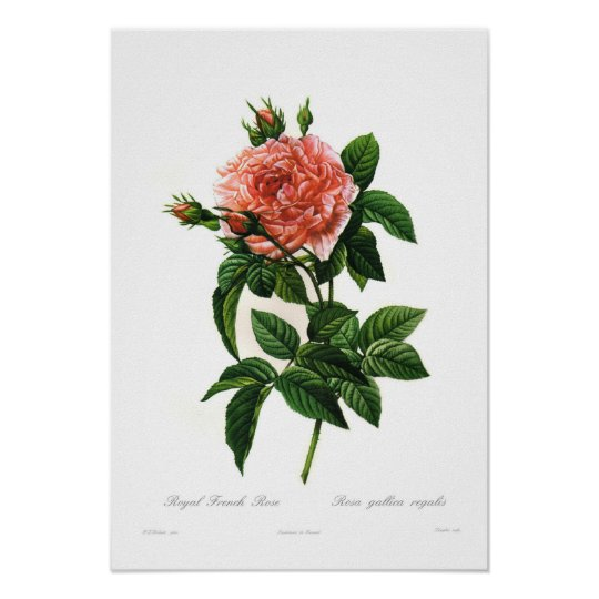 Rosa gallica regalis poster