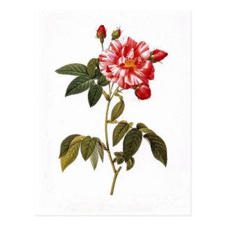 Rosa gallica versicolor postcard