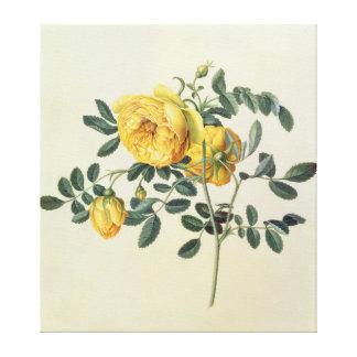 Rosa hemispherica, 18th century canvas print