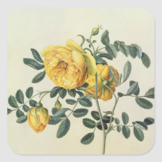 Rosa hemispherica, 18th century square sticker