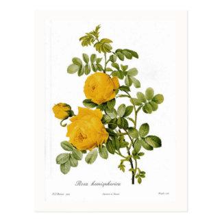 Rosa hemispherica postcard