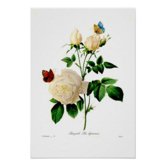 Rosa indica posters