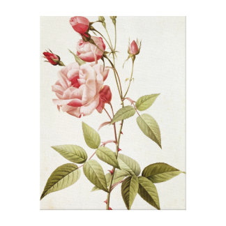Rosa Indica Vulgaris, from 'Les Roses' Canvas Print