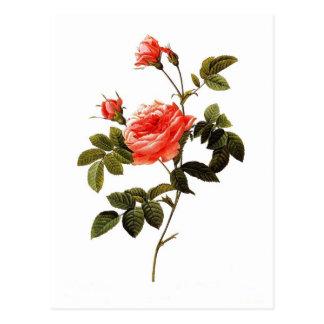 Rosa intermis postcard