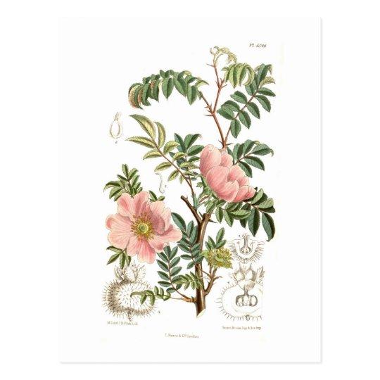 Rosa microphylla postcard