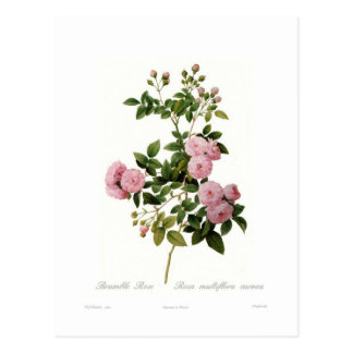 Rosa multiflora carnea(Bramble Rose) Postcard