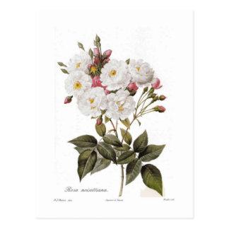 Rosa noisettiana postcard