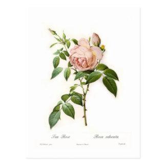Rosa odorata postcard