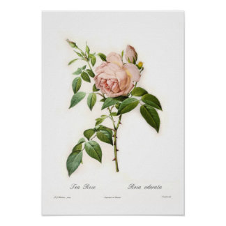 Rosa odorata poster