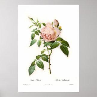 Rosa odorata print