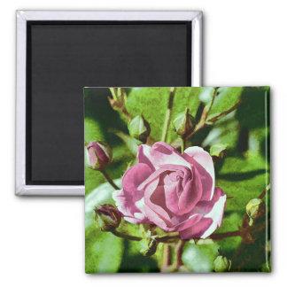 Rosa Rose, Nature Square Magnet