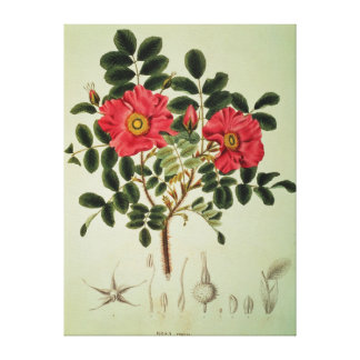 Rosa rugosa, from 'Flora Japonica' Canvas Print