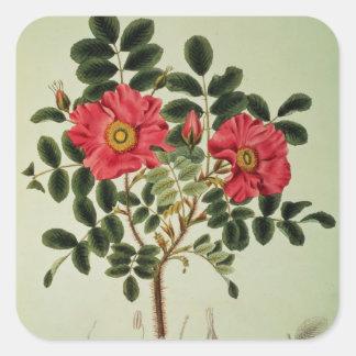 Rosa rugosa, from 'Flora Japonica' Square Sticker