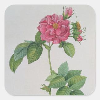 Rosa Turbinata, from ,Les Roses', Vol 1, 1817 Square Sticker