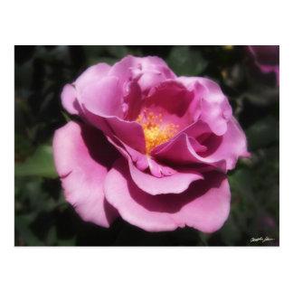 Rosas Moradas 3 Postcard