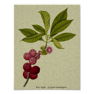 Rose Apple botanical print