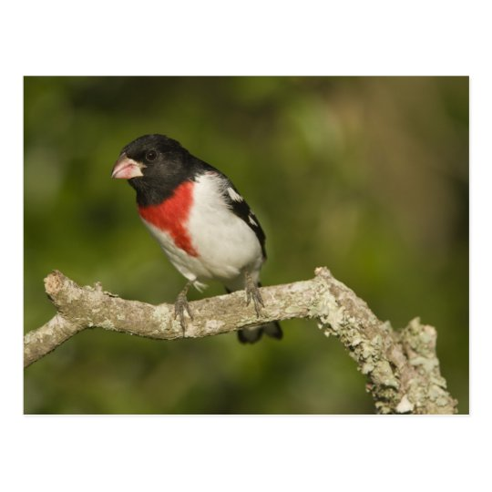 Rose-breasted grosbeak, Pheucticus 2 Postcard