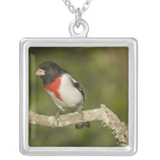 Rose-breasted grosbeak, Pheucticus 2 Silver Plated Necklace