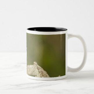 Rose-breasted grosbeak, Pheucticus 2 Two-Tone Coffee Mug