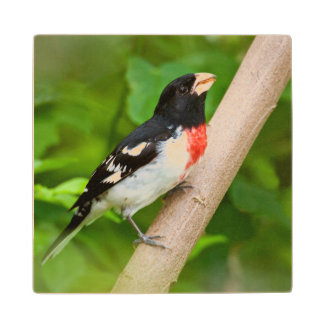 Rose-Breasted Grosbeak (Pheucticus Ludovicianus) Wood Coaster