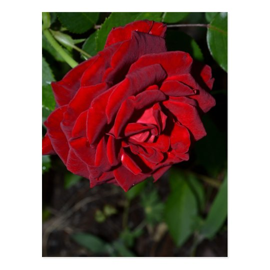 Rose in Deep Red Postcard