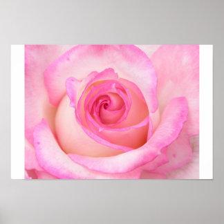 Rose in Macro View Poster