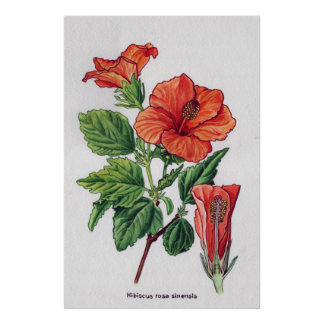 Rose of china Hibiscus rosa sinensis Poster