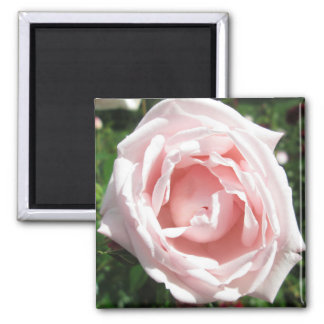 Rose Opening Sunlight Fridge Magnet