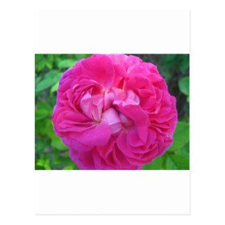 rose,pretty pink rose post card