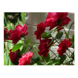 rose,red rose postcard