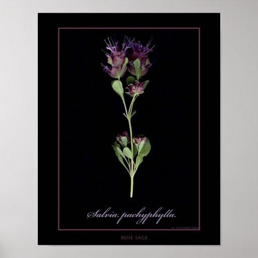 Rose Sage Botanical Art Print