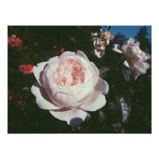 Rose Test Garden Photographic Print