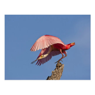 Roseate spoonbill taking off post cards
