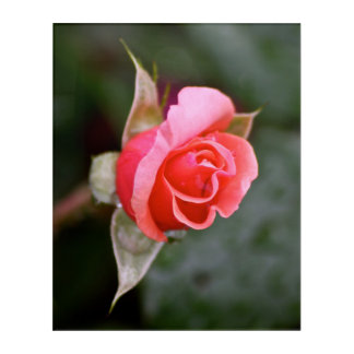 Rosebud Salmon Color Acrylic Print