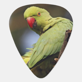 Roseringed Parakeet,Keoladeo National Park, Plectrum
