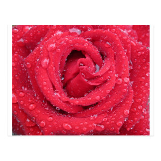 roses flowers blossoms petals water droplets postcard