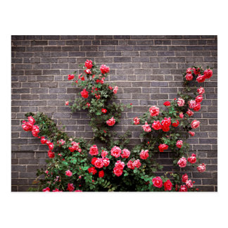 Roses on brick wall post cards