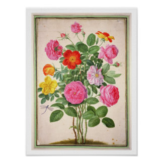 Roses, plate 4 from the Nassau Florilegium (w/c on Poster