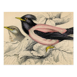 Rosie Bird Sketch Postcard