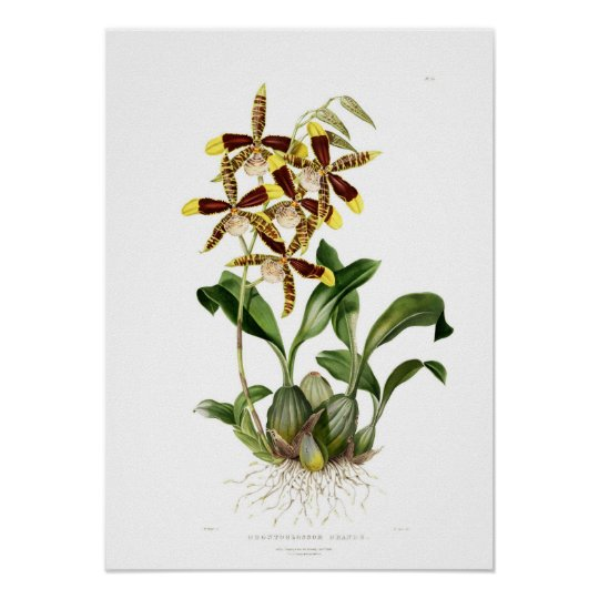 Rossioglossum grande by Miss Drake. Poster