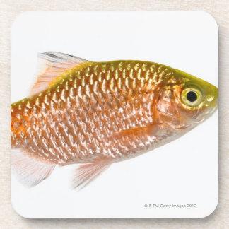 Rosy barb fish (Puntius conchonius) Coaster