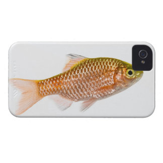 Rosy barb fish (Puntius conchonius) iPhone 4 Case-Mate Cases