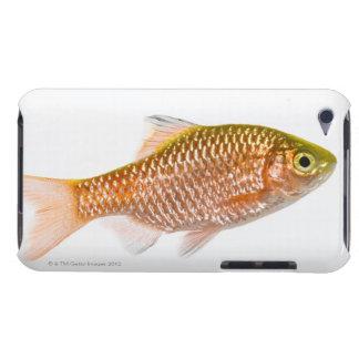 Rosy barb fish (Puntius conchonius) iPod Touch Case