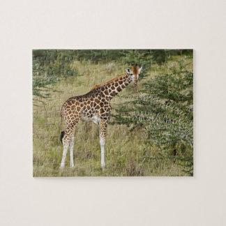 Rothschild's Giraffe eating, Lake Nakuru Jigsaw Puzzle