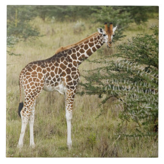 Rothschild's Giraffe eating, Lake Nakuru Tile