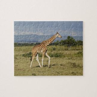 Rothschild's Giraffe, Giraffa camelopardalis Jigsaw Puzzle