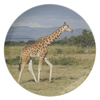 Rothschild's Giraffe, Giraffa camelopardalis Plate