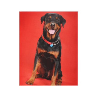 Rottweiler on Red Gallery Wrapped Canvas
