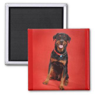 Rottweiler on Red Magnet