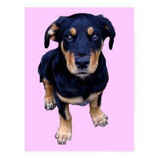 rottweiler puppy black tan dog eye contact postcard